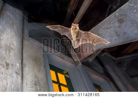 Flying Pipistrelle Bat (pipistrellus Pipistrellus) Action Shot Of Hunting Animal On Wooden Attic Of