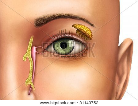 Anatomy drawing showing the functioning of lacrimal glands. Digital illustration.
