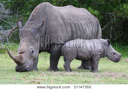 Baby Rhinoceros And Mom