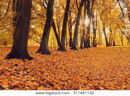 Fall sunny landscape scene of fall park in sunset time. Park fall trees with fallen lush foliage covering the ground Fall picturesque landscape scene