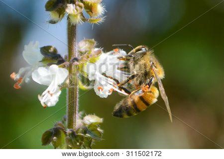 Abelha em flor de manjeric?o branca, close-up poster
