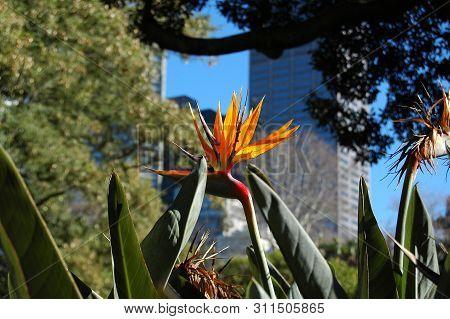 Beautiful Bird Of Paradise Flower (strelitzia Reginae) Isolated In Green Background, Sydney Royal Bo
