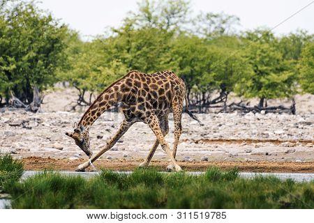 Giraffe Drinks Water From A Waterhole In Etosha National Park, Namibia.