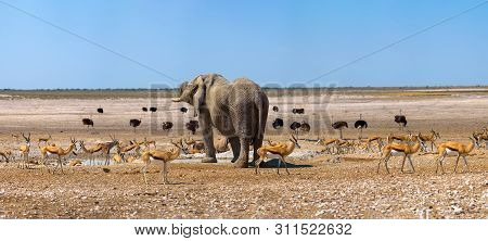 Large Panoramic African Scenery With A Dominant Elephant And Many Ostrichs And Gazelles At A Waterho