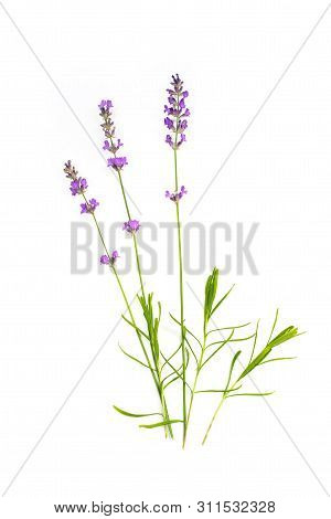 Lavender On A White Isolated Background. Medicinal Plants. Aromatherapy.