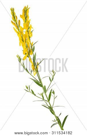Dyer's Broom