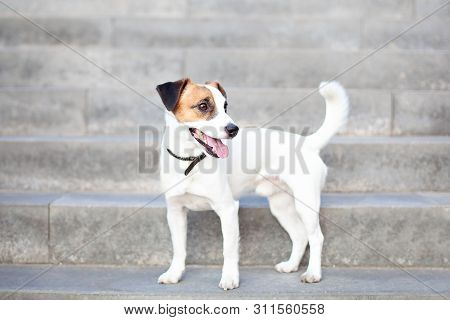 Portrait Of Jack Russell Terrier. The Dog Is Standing On The Steps, Waiting For The Owner. Cute Dog