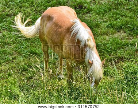 A Horse, In Captivity Moves In The Meadow Enclosed By Its Owners. Wear A Blinker To Protect Him From