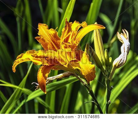 Hemerocallis Fulva Known As Orange Day-lily, Tawny, Tiger, Railroad, Roadside Or Fulvous Daylily, Al