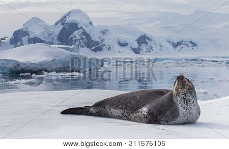 Natural Predator Of Antarctica Is Leopard Seal. Relax Animal Lying On The Ice.