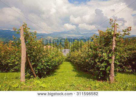 Landscape Of Raspberries Fields, Village Lifestyle In Serbia During Summer.