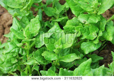 Tetragonia tetragonioides, New Zealand spinach growing in garden poster