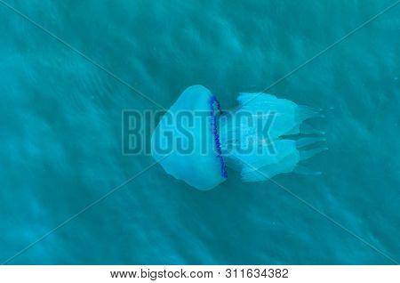 Blue Large Jellyfish Floating In The Sea. Nature Background. Blue Margin Umbrella Scyphozoan Jelly F