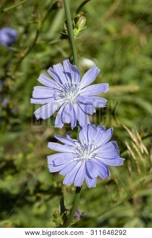 Blooming Chicory, Blue Flowerets On A Green Stalk. Two Flowers With Petals And Stamens. Edible Plant