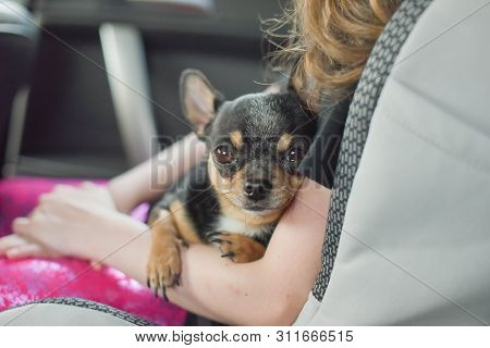 companion dog sitting in the car. Chihuahua dog in the car in the hands of a little girl. Chihuahua dog black and brown and white. The girl in the car seat holding a chihuahua. Dog man friend poster