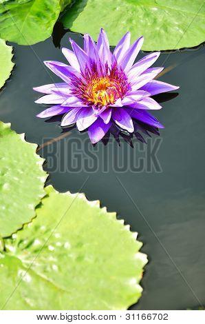 Purple Lotus In Pool