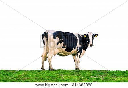 Cows Standing On The Green Field. Cows Isolated On White Background.