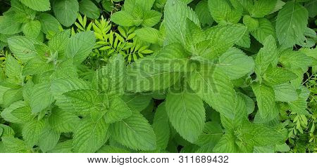Melissa Herb Bush. Melissa Officinalis. Lemon Balm Sheets.