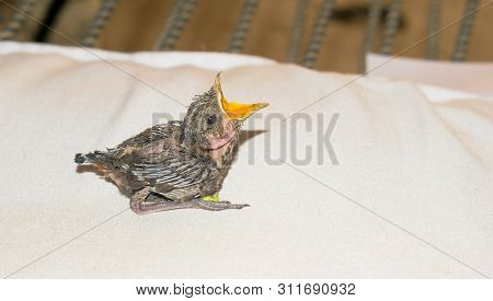 Close Up Of Baby Humming Bird Sitting On White Sheet  Opend Mouth For Feed,blurred Background.