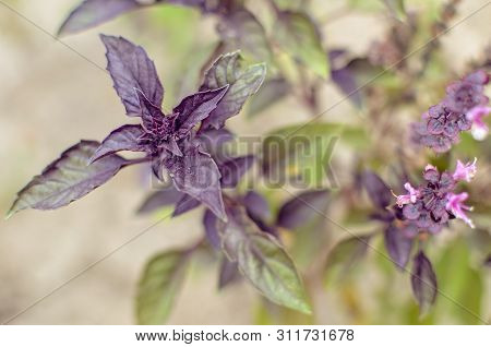 Ypung Purple Basil Leaves And Flowers At Spring