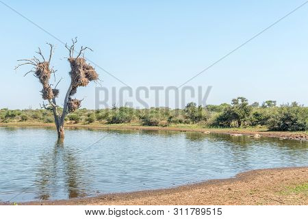 A View Of Sunset Dam, Mpumalanga. Nile Crocodiles, Crocodylus Niloticus, A Dead Tree And Bird Nests