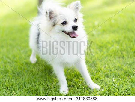 Closeup Puppy Pomeranian Playing On Green Grass Nature Background, Dog Healthy Concept, Selective Fo