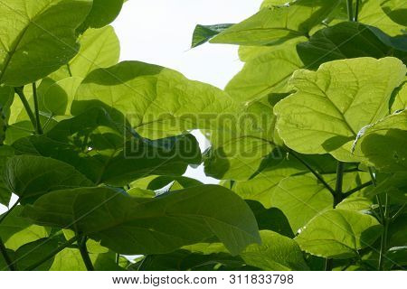 Canopy Of Green Catalpa Plant Leaves Backlit By Light On Cloudy Day