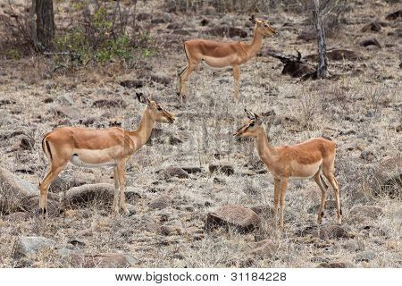 Three Grant's Gazelles In The Bushes