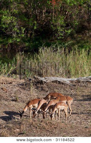 Grant's Gazelles Feeding In The Bushes