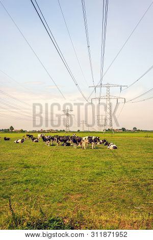 Ruminating Black And White Cows In A Dutch Meadow Under High-voltage Lines. The Photo Was Taken At T