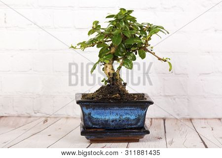 Beautiful Bonsai Tree