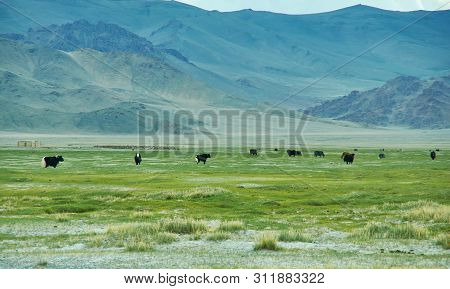 Natural Landscape Of Grazing Yak , Driving Up To Dorbot Pass From Ulan-baishint. Bayan-olgii Provinc