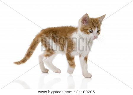 Ginger and white kitten walking on white background