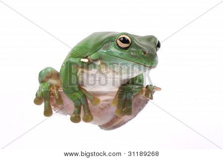 Magnificent green tree frog Litoria splendida climbing on white background