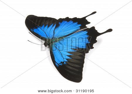 Beautiful Ulysses butterfly flying on a white background.