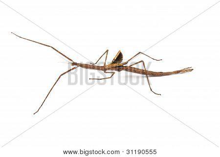 Margin winged stick insect Ctenomorpha marginipennis (female) on white background