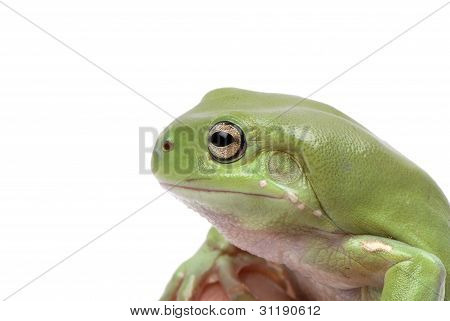 Magnificent green tree frog Litoria splendida on a white background.