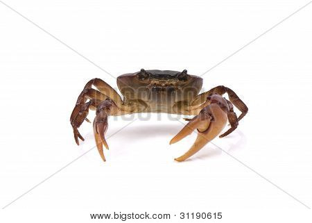 Aggressive crab shuffling on a white background.