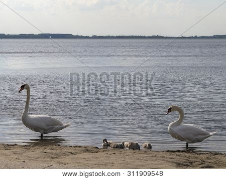 Young Family Of Swans On The Lake. Summer Nature Quiet