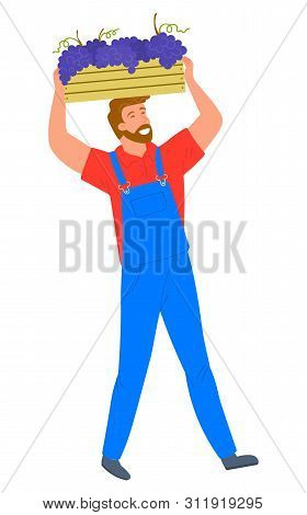 Man Carrying Wooden Container With Bunches Of Grapes Isolated Cartoon Person. Vector Person Gatherin