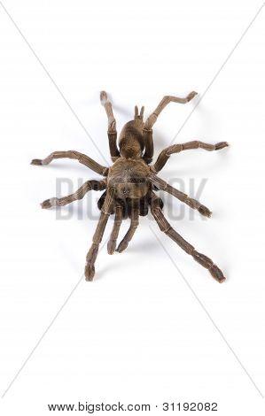 Australian Tarantula creeping on a white background