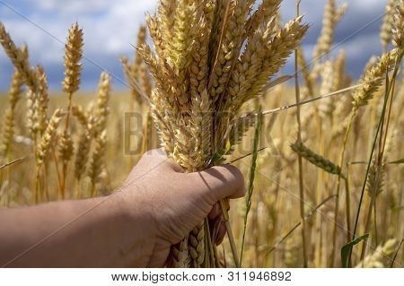 Man grasping a handful of ripe ears of golden wheat holding it in front of a wheat field ready to be harvested as a foodstuff, livestock feed or biofuel poster