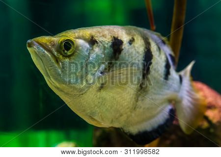 funny closeup of the face of a banded archer fish, Popular aquarium pet in aquaculture, tropical animal specie from the Indo-pacific ocean poster
