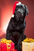 black labrador retriever wearing red cap of santa sitting with presents on red background poster