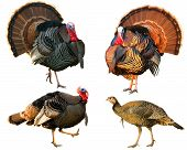 several Turkey Tom strutting their stuff isolated on a white background poster