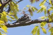 Common Nighthawk (Chordeiles minor) sleeping on a tree during the day poster