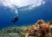 Diver checking out the Coral in Kona Hawaii poster