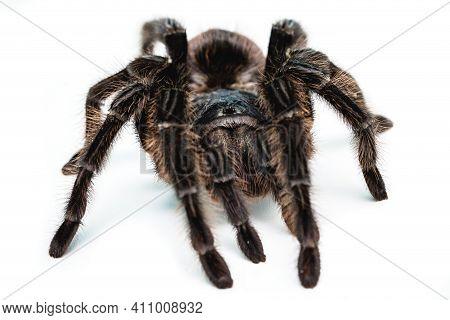 Black Tarantula Spider, Large Arthropod On White Isolated Background
