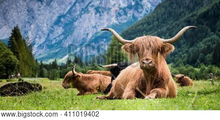 Scottish Breed Of Rustic Shaggy Cattle Also Famous As Highland Cattle Lying On The Green Grass On Th