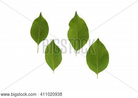 Green Plant Leaves Of Apple On A White Isolated Background, Template For Your Design, Natural Eco-fr